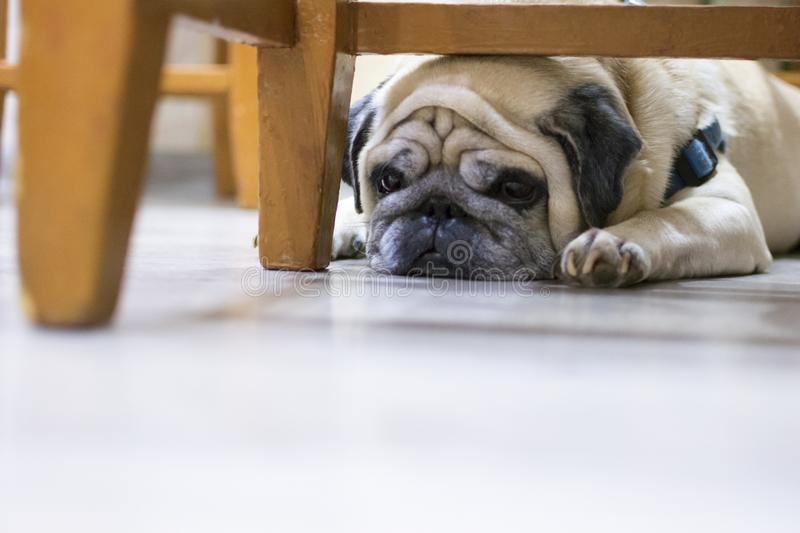 Sad pug lying on the floor. the dog is sad, looking tired lying down behind a chair. royalty free stock photography