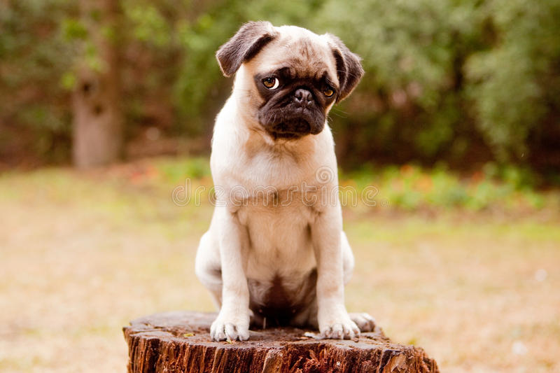 Sad pug puppy stock image