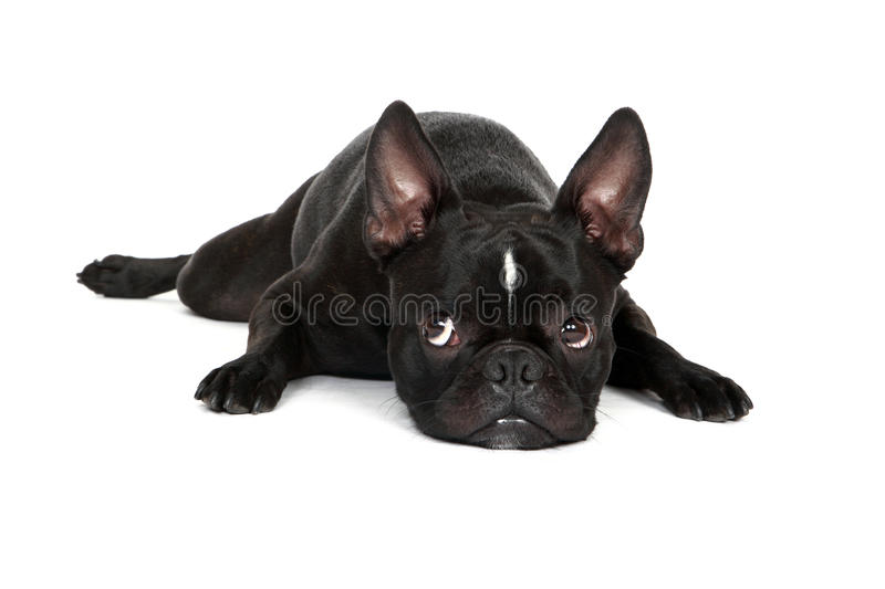 Download Sad Puppy stock photo. Image of bulldog, white, pets - 28670010