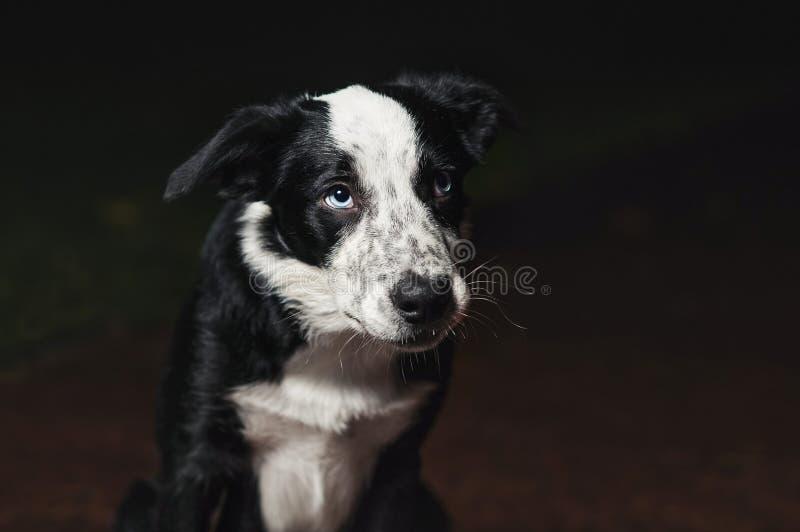 Sad puppy border collies royalty free stock photography