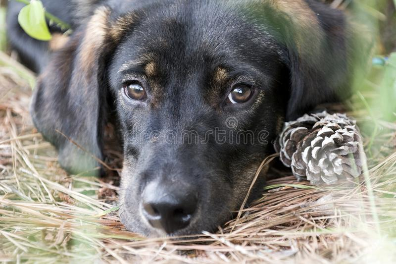 Sad puppy dog eyes. Young black and tan shepherd lab hound mixed breed puppy dog laying down outside. Animal shelter humane society dog rescue pet adoption royalty free stock photos
