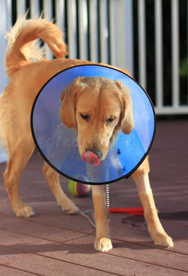 Sick Dog with Elizabethan Collar Cone royalty free stock photography