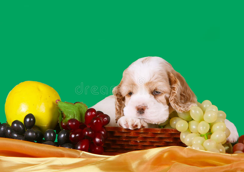 Sad puppy lying in a basket of fruit. Dog with floppy ears. A small animal. Puppy on a green background royalty free stock image