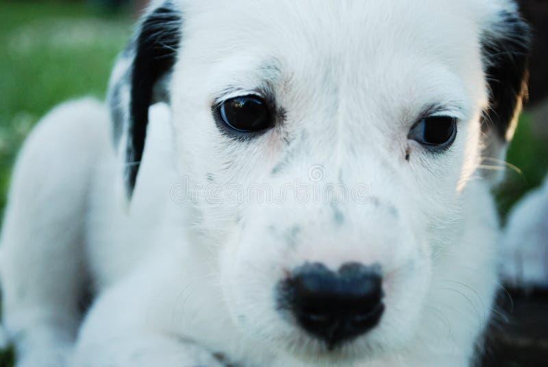 Sad puppy white dog royalty free stock images
