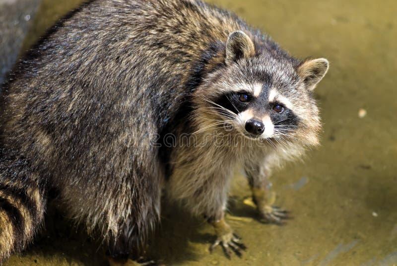 Download Sad Raccoon Royalty Free Stock Photography - Image: 20570097