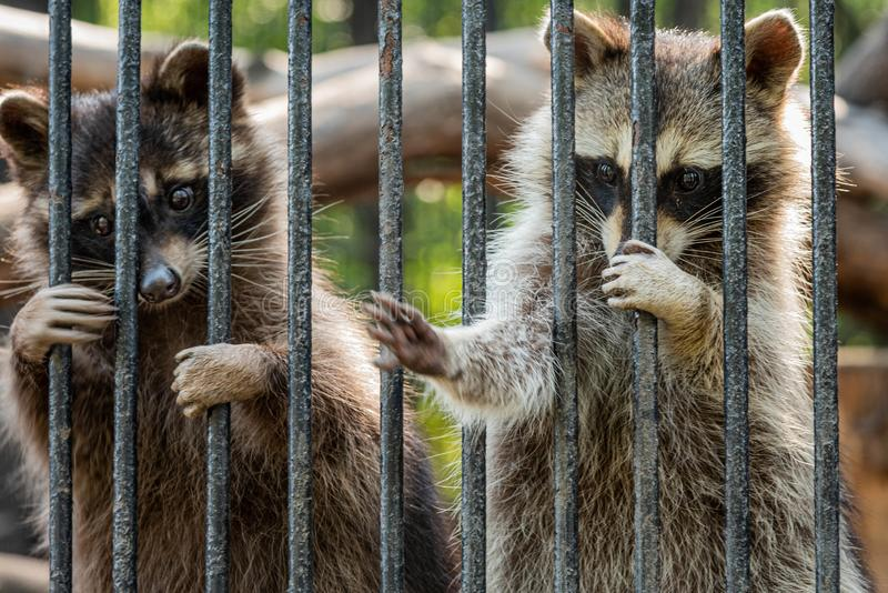 Racoons in the zoo looking sad. stock images