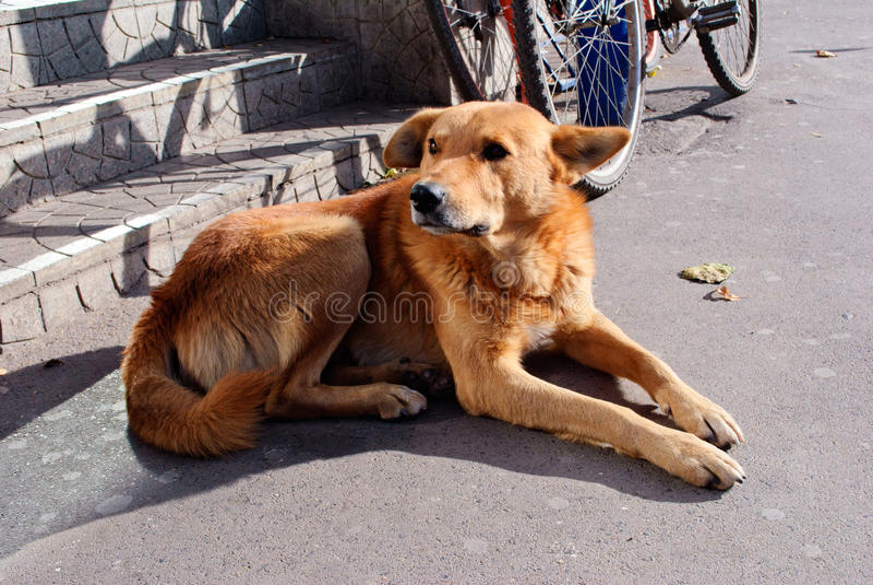 Sad red dog lie. Sad red homless dog lie on stairs floor stock photo
