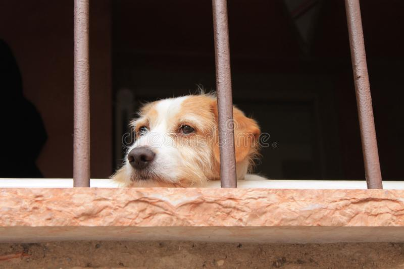 Sad red-white shaggy dog in the window royalty free stock photos