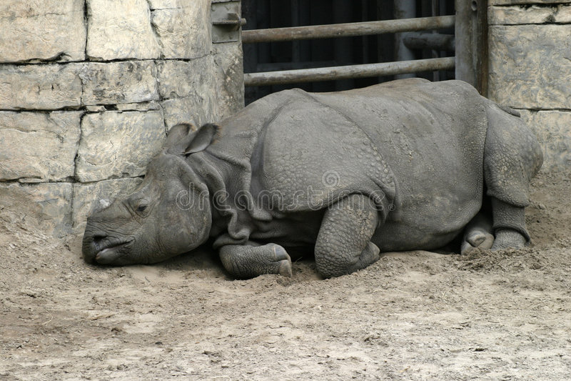 Sad Rhinoceros royalty free stock photography