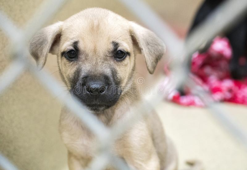 Sad Shepherd puppy at dog pound animal shelter for adoption. Sad tan and black shepherd mix puppy at dog pound for adoption at animal shelter. Dog rescue pet stock photography