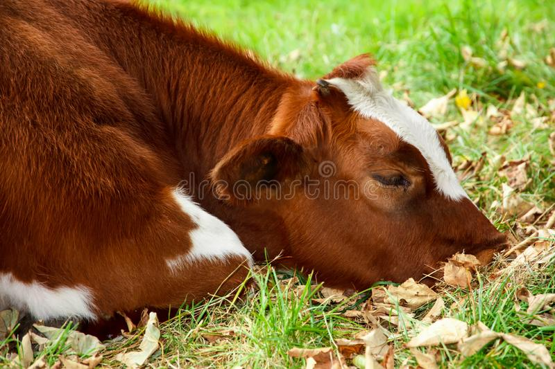 Sad and sick cow. Lying on the autumn grass stock image