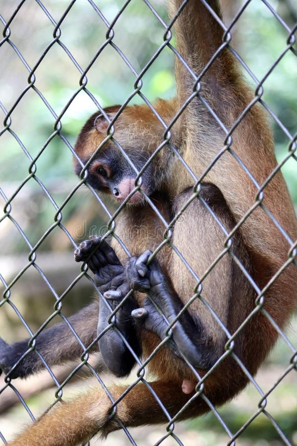 Sad spider monkey in cage in Costa Rica royalty free stock images
