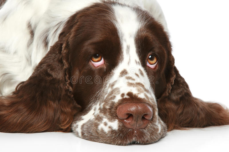 Sad Springer Spaniel. Close-up portrait. Sad Springer Spaniel lying on a white background stock photos
