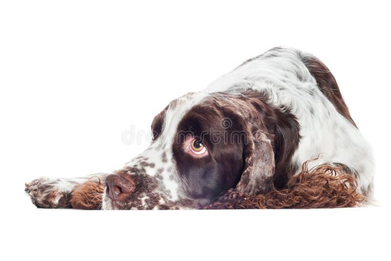 Sad springer spaniel dog. Brown and white springer spaniel dog stock images