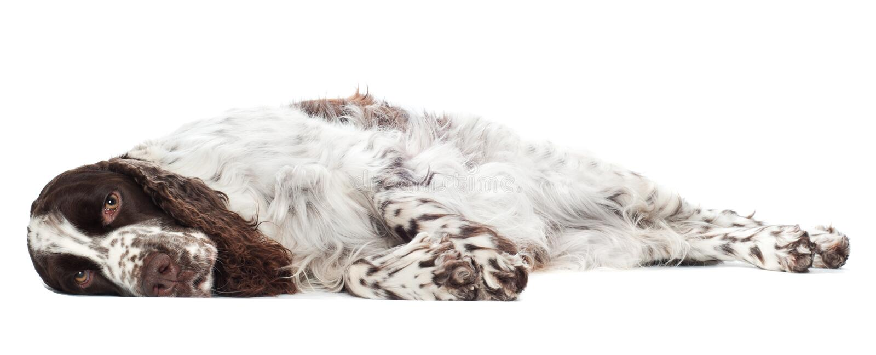 Sad springer spaniel dog. Brown and white springer spaniel dog stock image