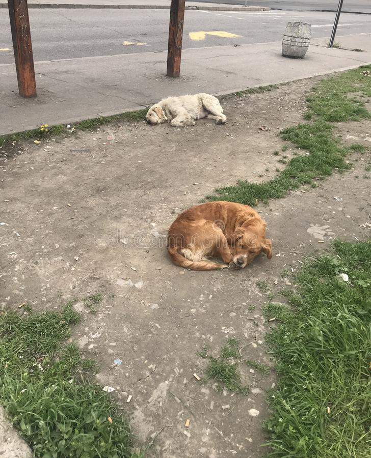 Sad street dogs. Two sad street dogs is sleeping next to road on the bus stop.White and brown animals pets and dogs.Male female pet lay on the dirty floor and stock image