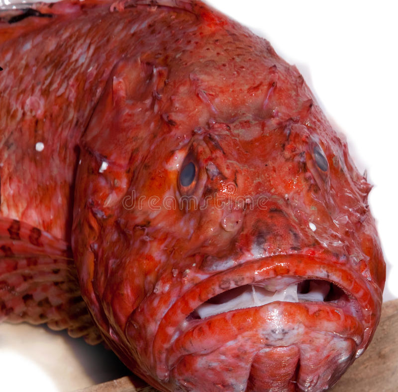 Sad stressed unhappy fish head. Deep water exotic fish with utterly unhappy look stock images