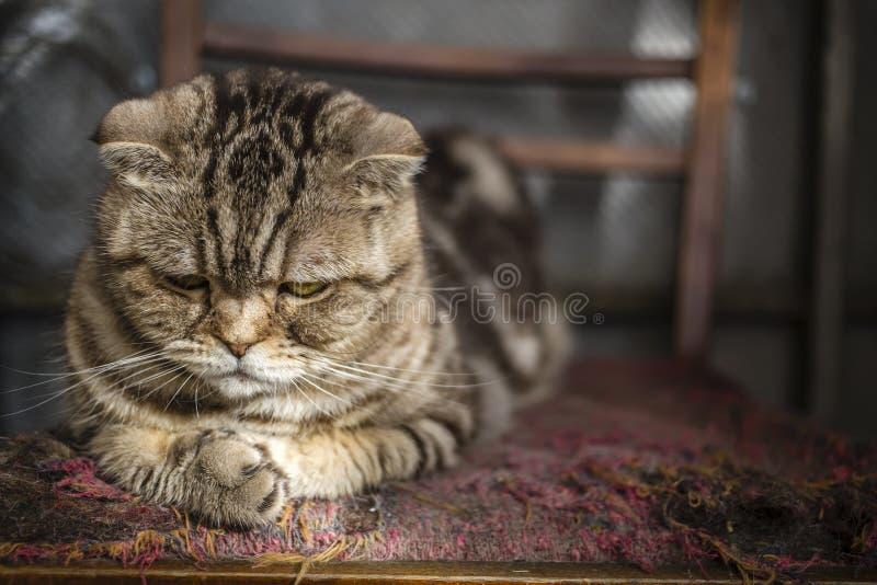 Sad striped Scottish Fold cat royalty free stock photography