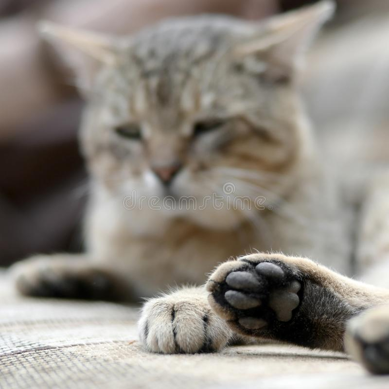 Sad tabby cat lying on a soft sofa outdoors and resting with paw in focus. In the foreground and muzzle in defocus stock images