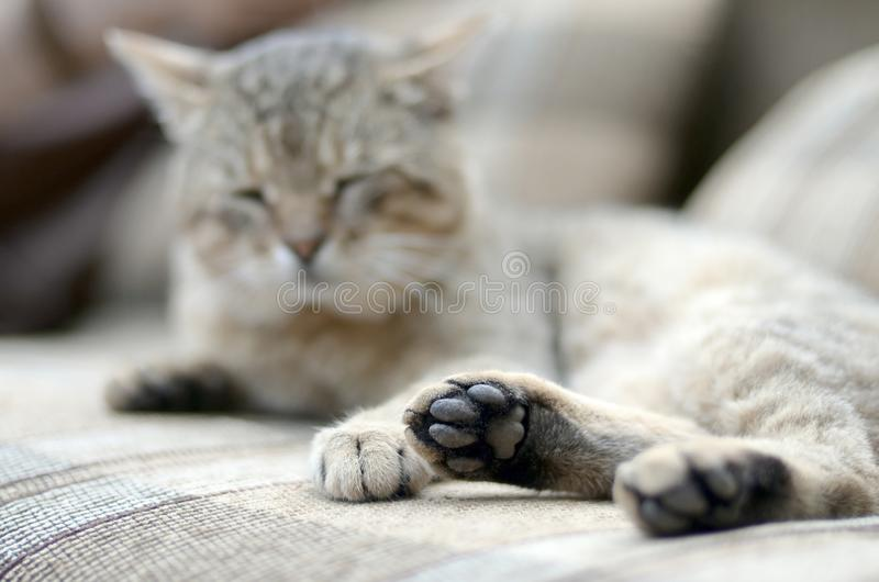 Sad tabby cat lying on a soft sofa outdoors and resting with paw in focus. In the foreground and muzzle in defocus royalty free stock photo