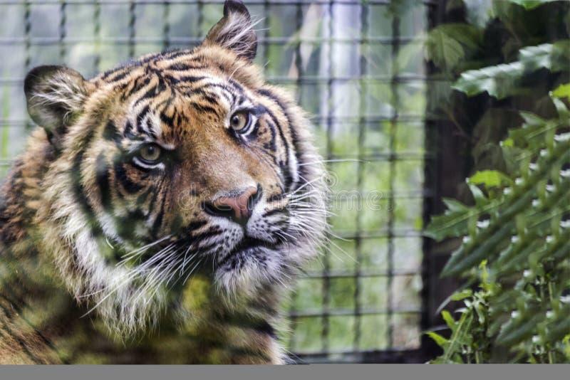 Sad Tiger`s portrait. Tiger`s portrait close up with defocused background royalty free stock photos
