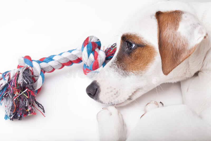 Sad and upset dog. Not interested in the toy royalty free stock photos