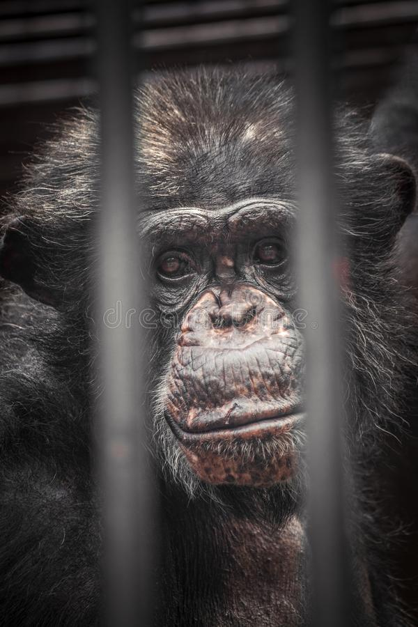 A sad view of a young chimpanzee. A sad view of a young chimpanzee through the bars in the cage royalty free stock images