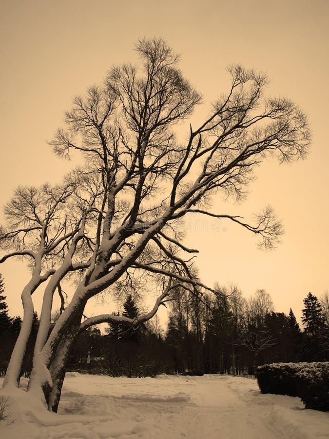 Sad weeping willow tree. Sepia background stock photo