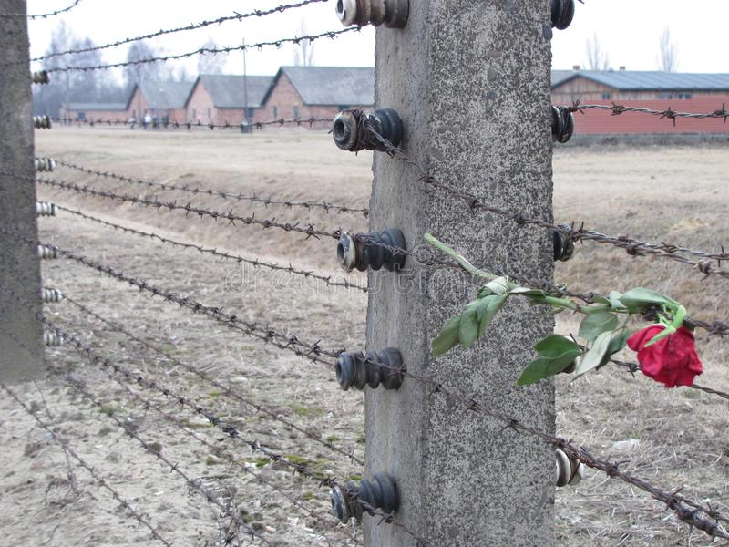 Sad Rose at Auschwitz royalty free stock photos