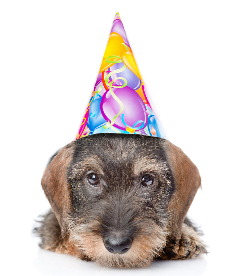 Sad wire-haired dachshund puppy in birthday hat. isolated on white. Background royalty free stock photo