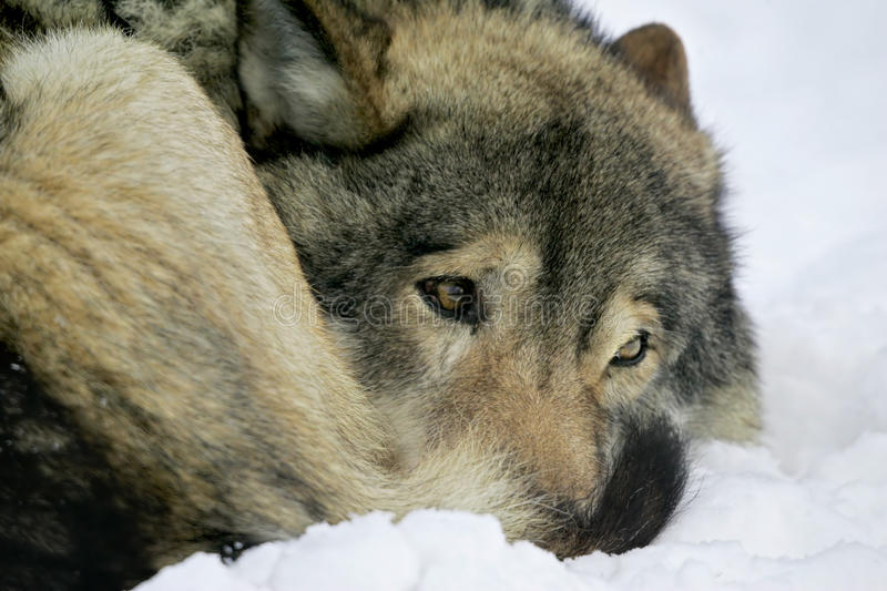 Download Sad wolf stock photo. Image of depressed, submissive - 55150290