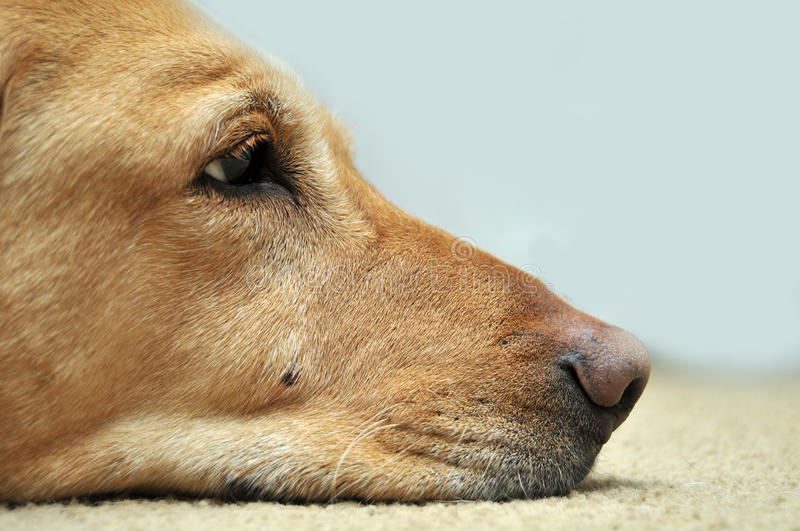 Sad Yellow Lab Laying On Carpet stock photography