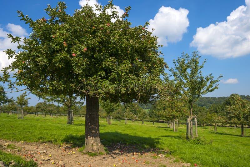 Sad z jabłoniami w polu zdjęcie royalty free