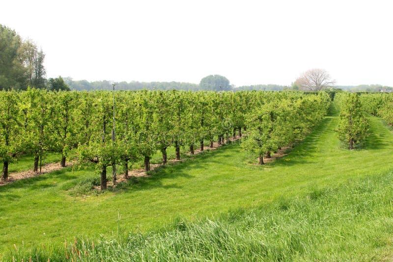 Sad z owocowymi drzewami, holandie zdjęcia royalty free