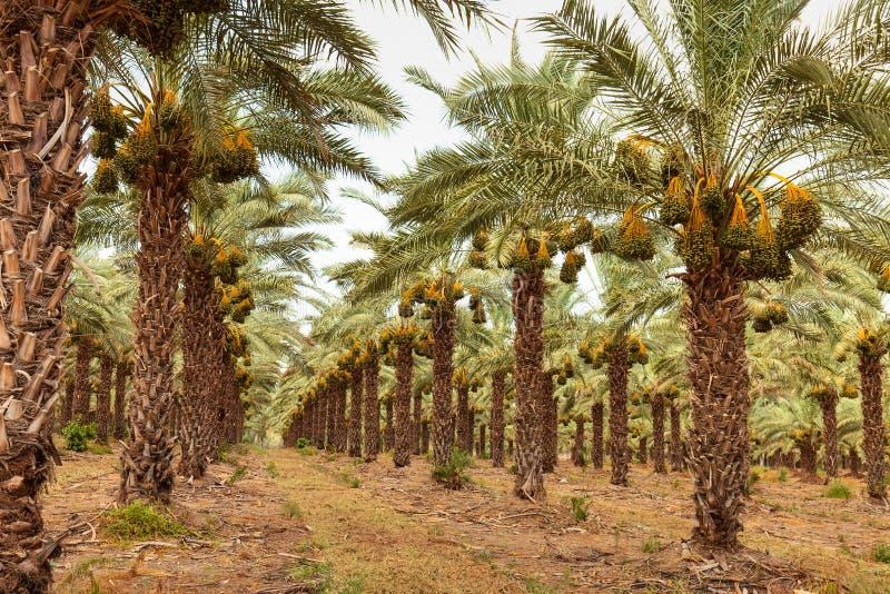 Sad z palmy daty drzewami obraz stock