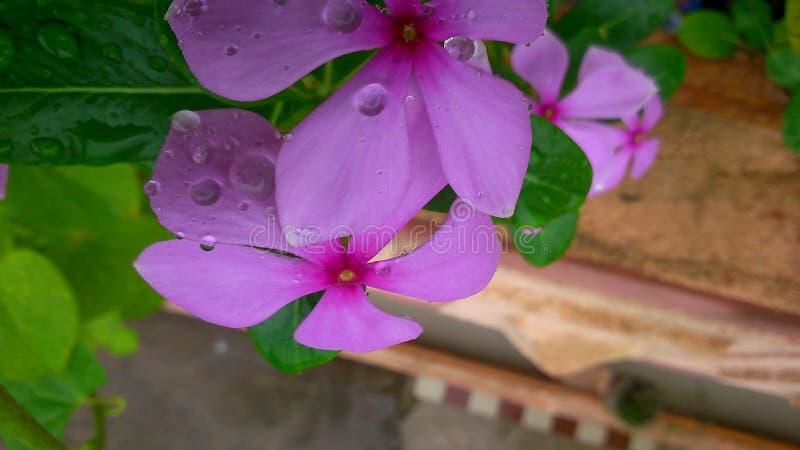 Sadabahar kwiat obraz stock
