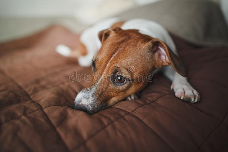 The saddest dog of the breed Jack Russell Terrier lies on a brown bedspread on the bed and looks into the distance. Saddest dog breed Jack Russell Terrier lies royalty free stock photography