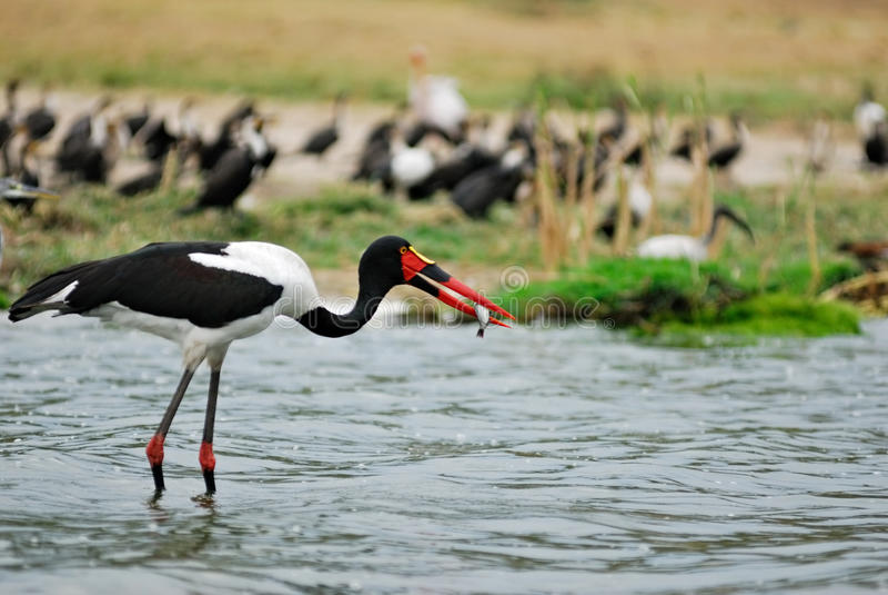 Saddle-billed stork. Caught fish, Kazinga channel, Uganda royalty free stock photo