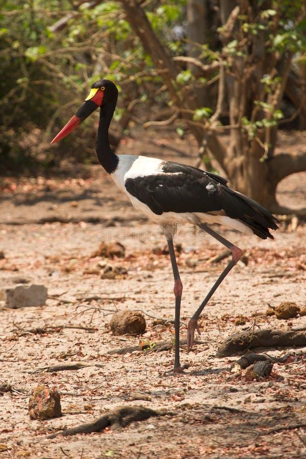 Saddle-billed Stork. Safari Chobe, Botswana royalty free stock photo