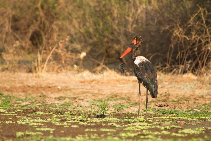 Saddle-billed Stork. Safari South Luangwa, Zambia stock photo