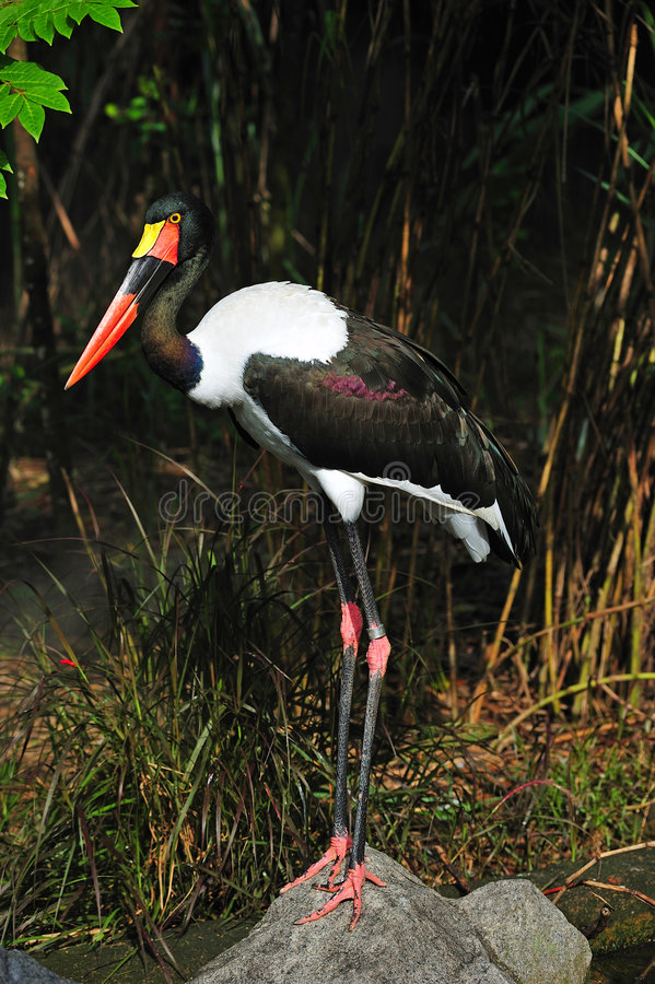 Saddle billed stork. The saddle billed stork is scientifically known as Ephippiorhynchus senegalensis . This huge bird leaves in sub-saharan africa stock photos
