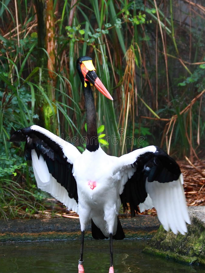 A Saddle-billed Stork. The Saddle-billed Stork (Ephippiorhynchus senegalensis) is a large wading bird in the stork family, Ciconiidae. It is a widespread species stock images