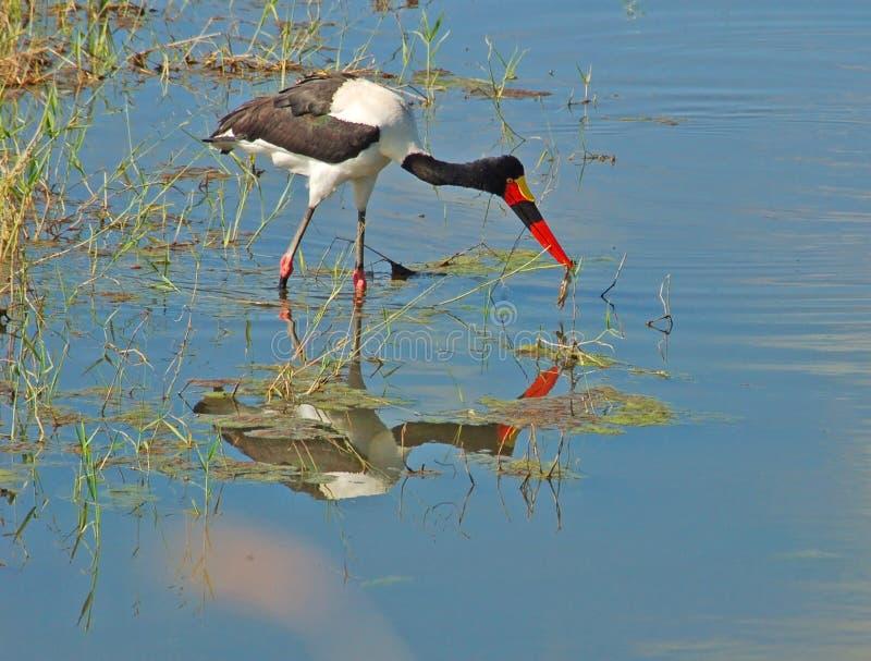 Saddle-billed Stork in Africa. Saddle-billed Stork (Ephippiorhynchus senegalensis) in South Africa stock image