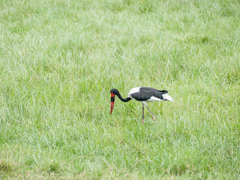 Saddle-billed stork. The saddle-billed stork (Ephippiorhynchus senegalensis) is a large wading bird in the stork family, Ciconiidae stock photos