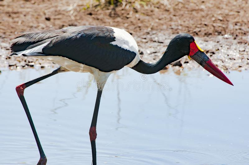 Saddle-billed Stork, closeup in Africa. Saddle-billed Stork - Ephippiorhynchus senegalensis - searching for feed in pond stock photography