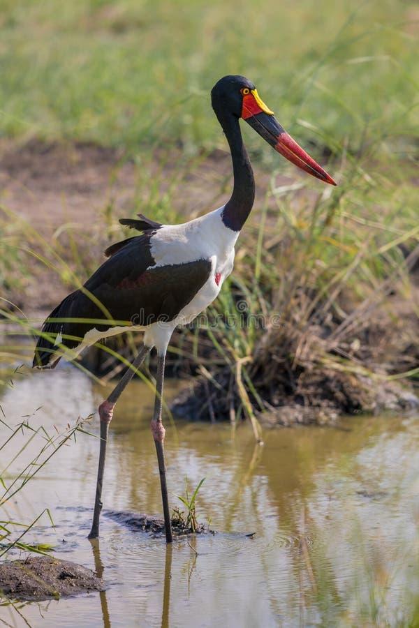 Saddle billed stork. Saddle-billed stork (Ephippiorhynchus senegalensis) wading in muddy pond in Kruger national park South Africa royalty free stock photography