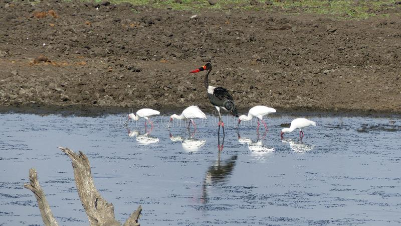 Saddle-billed stork in the middle of four white egrets searching the water for food stock photos