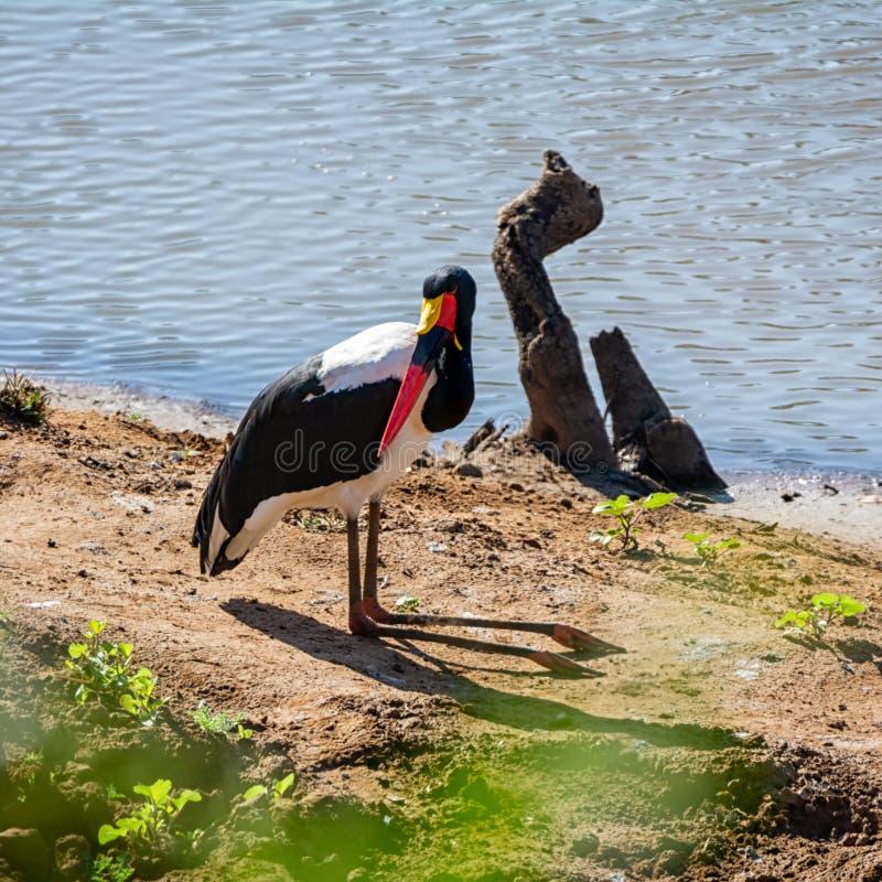 Saddle-billed Stork. A Saddle-billed Stork on a riverbank in Southern Africa savanna stock images