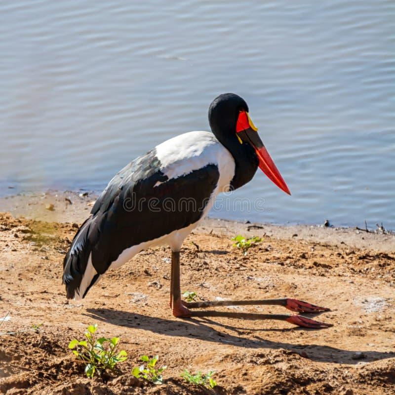 Saddle-billed Stork. A Saddle-billed Stork on a riverbank in Southern Africa savanna stock image