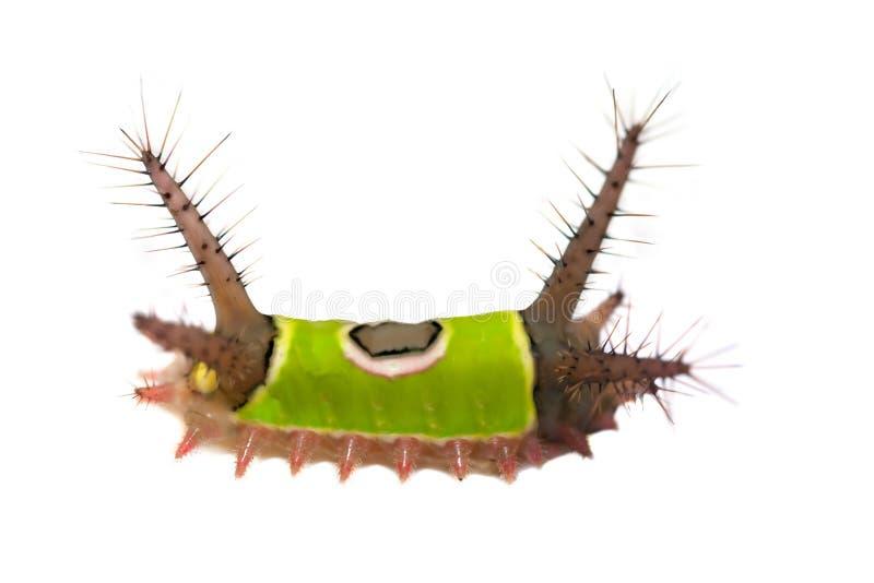 saddleback гусеницы стоковое фото